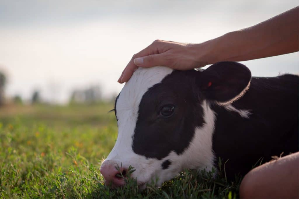 Young calf being stroked in a green field - photo by hquality from AdobeStock 1200x800